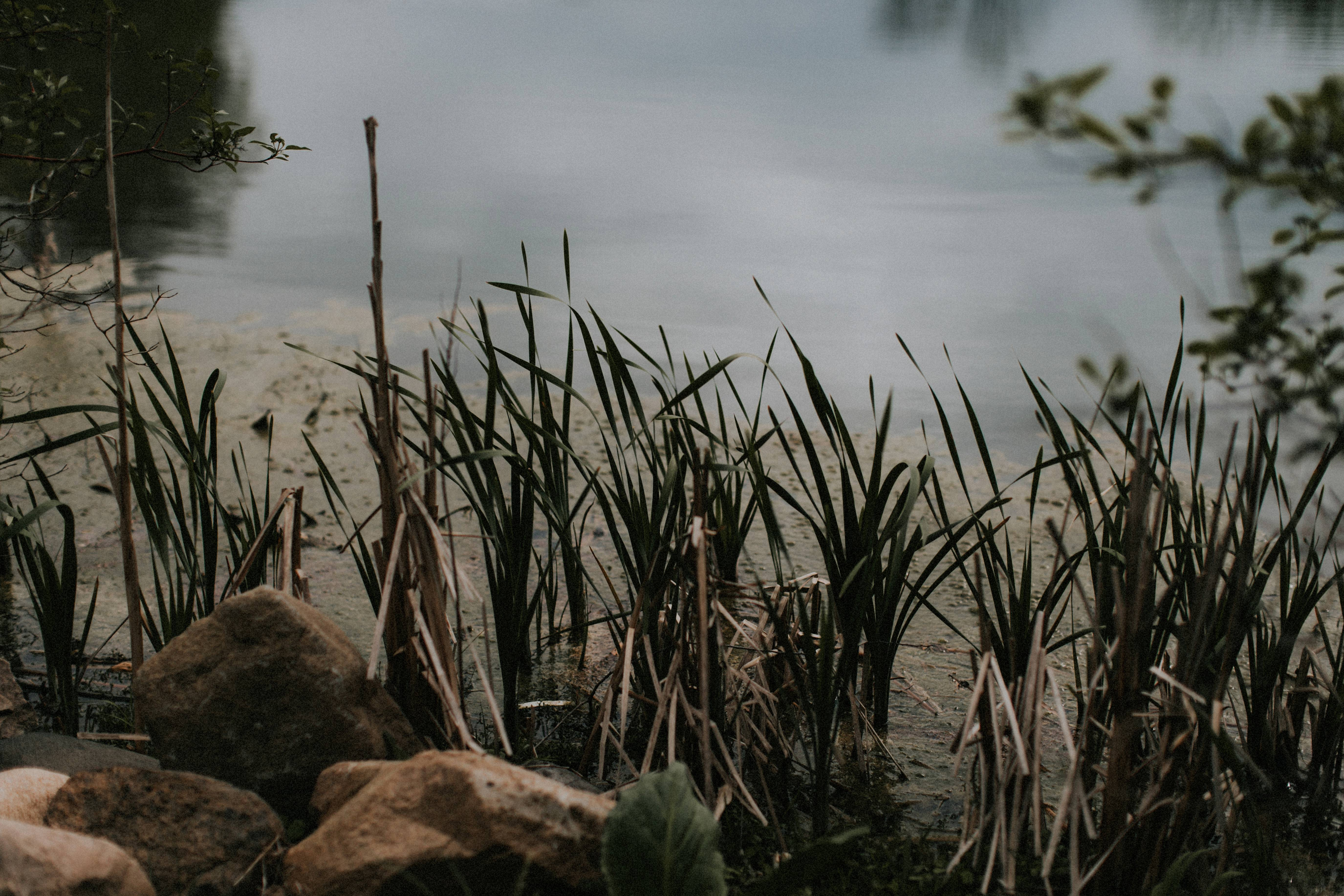 reeds by a pond