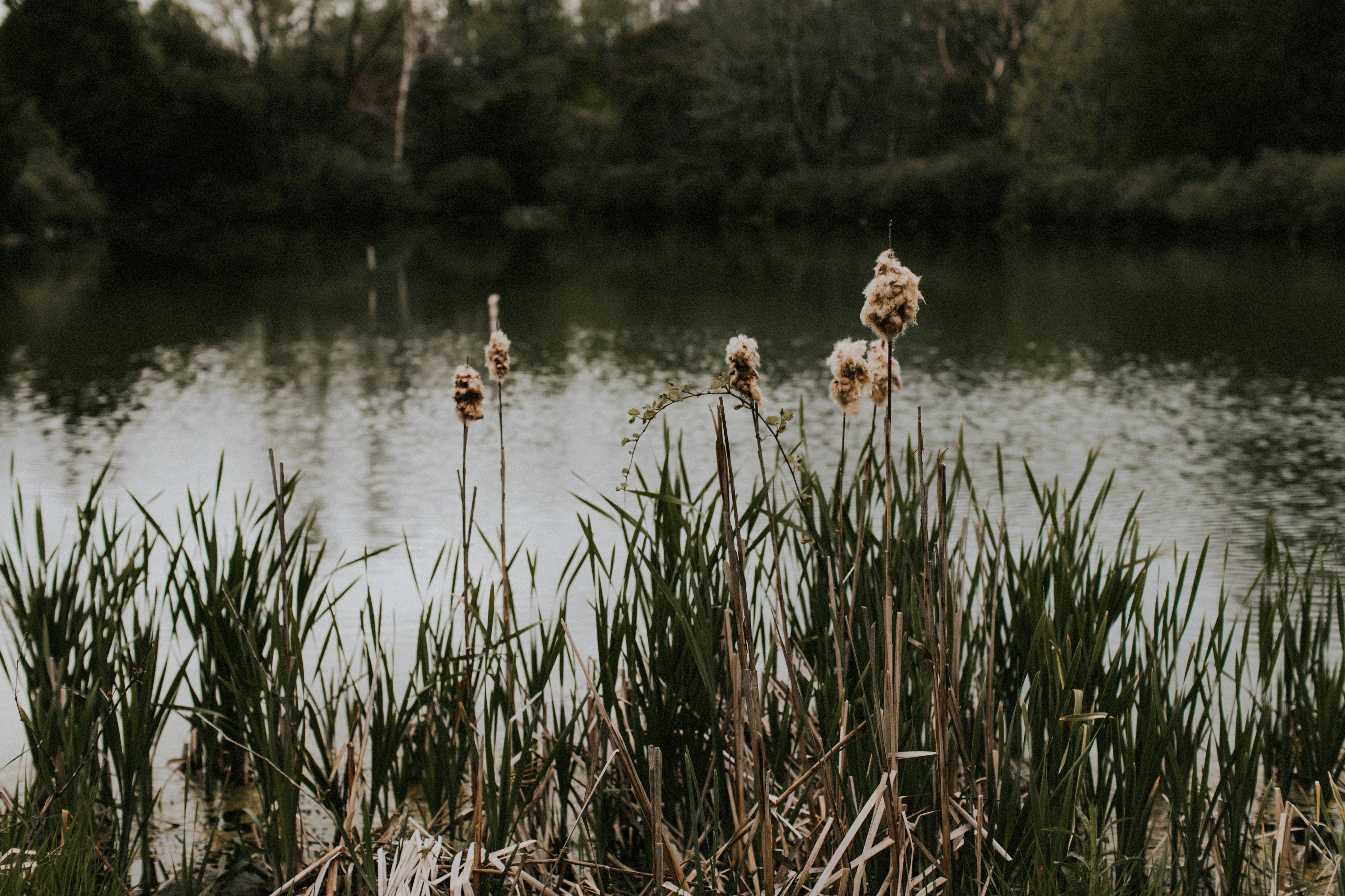 tall reeds by pond