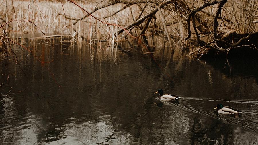 ducks swimming in spring